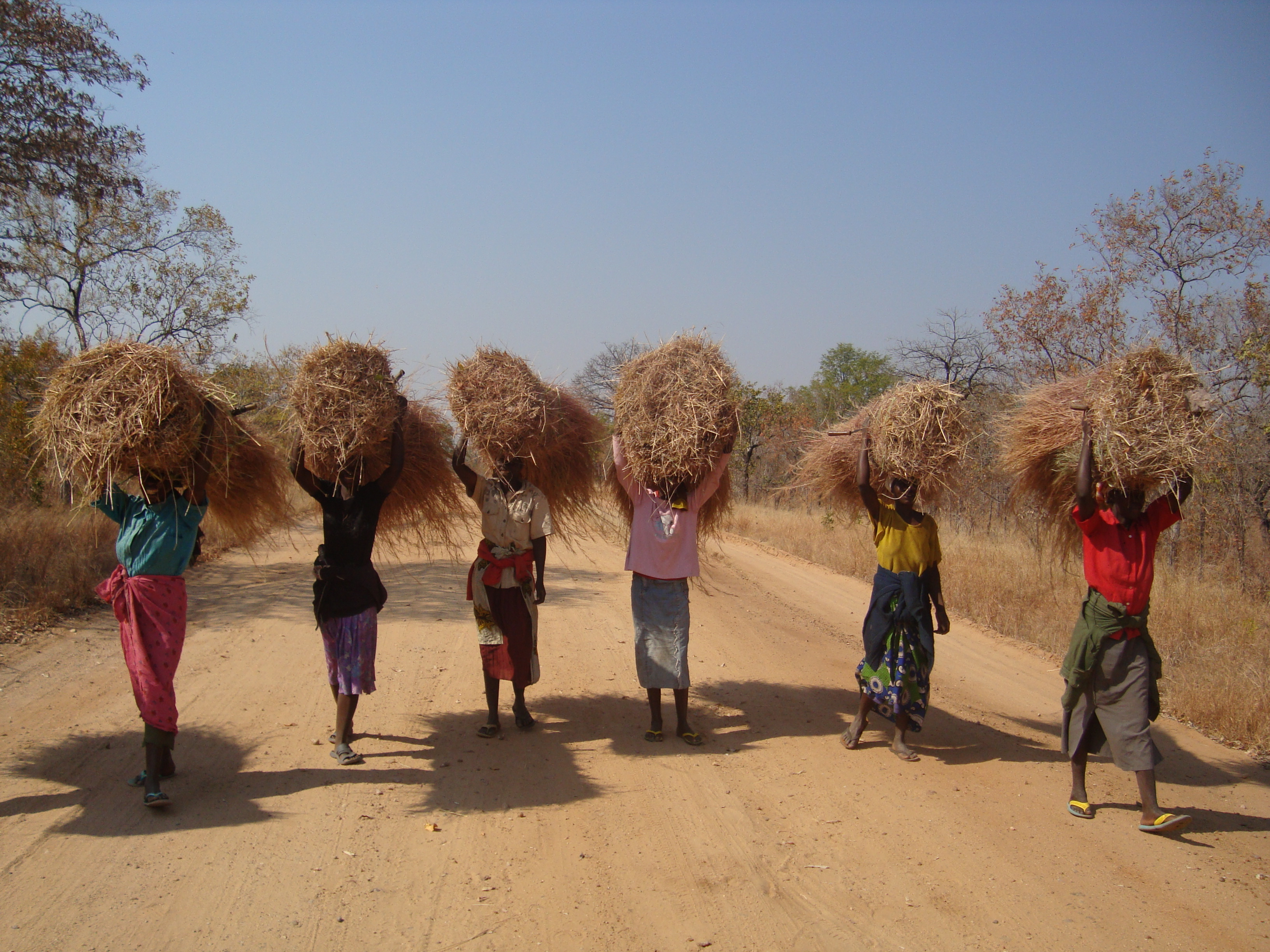 On the road to work, Africa ladies carrying hay above their heads down a dusty African road